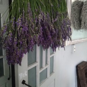 verse bossen lavendel